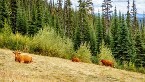 Cows grazing in the high alpine meadows Royalty Free Stock Photography