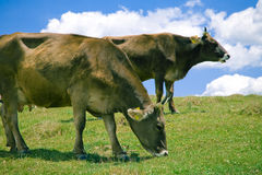 Cows Grazing on a Hill Royalty Free Stock Photo