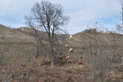 Cows grazing on the hill Stock Images