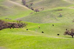 Cows grazing on the hills and valleys of south San Francisco bay area, San Jose, California stock images
