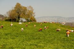 Cows Grazing on a Hillside Pasture Stock Images