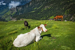 Cows grazing in Himalayas Stock Photos