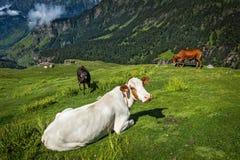 Cows grazing in Himalayas Stock Photos