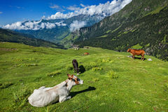 Cows grazing in Himalayas Stock Images