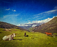 Cows grazing in Himalayas Royalty Free Stock Images