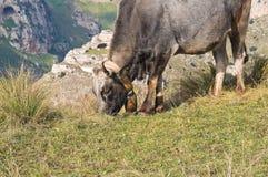 Cows grazing. Stock Photos