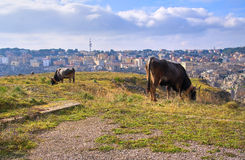 Cows grazing. Royalty Free Stock Image