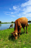 Cows grazing by lake. Scenic view of cows grazing by lake in countryside with blue sky and cloudscape background Stock Photos