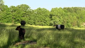Cows grazing in a large field (2 of 5). A view or scene of Nature stock footage