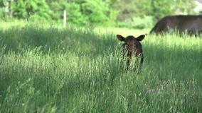 Cows grazing in a large field (5 of 5) stock video footage