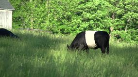 Cows grazing in a large field (1 of 5) stock video footage