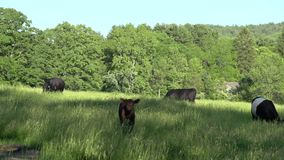 Cows grazing in a large field (3 of 5) stock footage