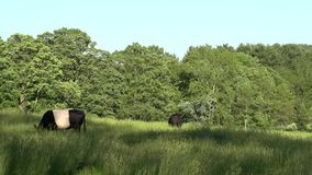 Cows grazing in a large field (4 of 5) stock video