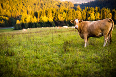 Cows grazing on  green pasture Royalty Free Stock Photography