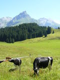 Cows grazing in the meadow stock images