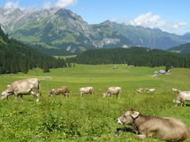 Cows grazing in the meadow stock image