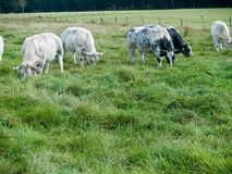 Cows grazing in meadow stock photography