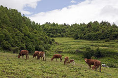 Cows Grazing in a Meadow. Brown cows graze in a green meadow up in the mountains in Yunnan Province, China Royalty Free Stock Photos