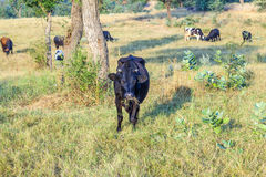 Cows grazing at the meadow Royalty Free Stock Images