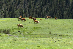 Cows grazing meadow Royalty Free Stock Photos