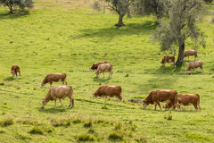 Cows grazing on meadow Royalty Free Stock Photo