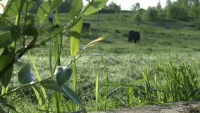 Cows grazing in a meadow changing focus view. Cows grazing in a green meadow on sunny summer day changing focus view stock footage