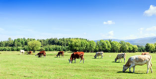 Cows grazing in the meadow Royalty Free Stock Photo