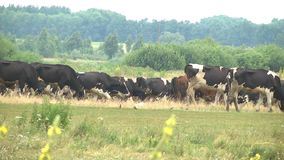 Cows grazing in the meadow. Cows grazing in a meadow in the summer season. Agriculture industrial livestock stock video