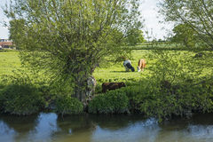 Cows grazing in a meadow Stock Photo