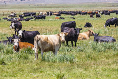 Cows grazing at the meadow Stock Image