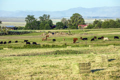Cows grazing at the meadow with green grass Royalty Free Stock Images