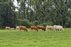 Cows grazing on meadow Stock Image