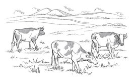 Cows grazing on meadow. Hand drawn illustration. Stock Photography