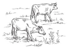 Cows grazing on meadow. Hand drawn illustration. Stock Images