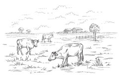 Cows grazing on meadow. Hand drawn illustration. Stock Photos