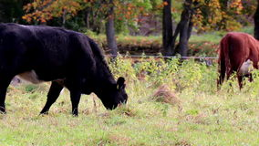 Cows grazing in the meadow stock footage