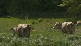 Cows Grazing On The Meadow stock video footage