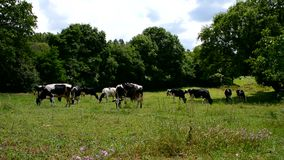 Cows grazing in a meadow stock video