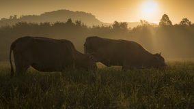 2 cows. Cows grazing in a meadow in the morning royalty free stock image