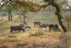 Cows grazing at the meadow Royalty Free Stock Photography