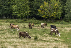 Cows grazing in a meadow. Royalty Free Stock Photo