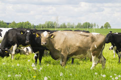 Cows grazing in the meadow Royalty Free Stock Image