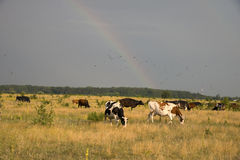 Cows grazing in a meadow Royalty Free Stock Photo