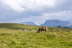 Cows grazing at the meadow at Rolle Pass Stock Images
