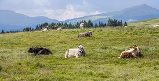 Cows grazing at the meadow at Rolle Pass Stock Photo