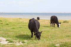 Cows grazing in a meadow Stock Photos
