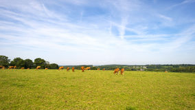 Cows grazing in a meadow Royalty Free Stock Images