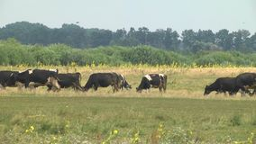 Cows grazing in the meadow. Cows grazing in a meadow in the summer season. Agriculture industrial livestock stock footage