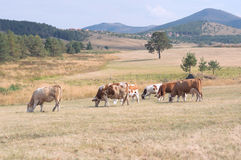 Cows grazing on a meadow stock image
