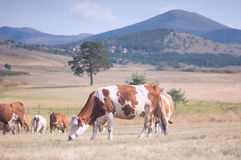 Cows grazing on a meadow stock images